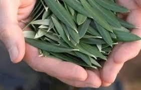 Benefici e proprietà dell'infuso di foglie di Olivo